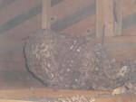 キイロスズメバチの天井裏の巣