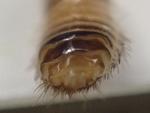 ヒメマルカツオブシムシおしり
